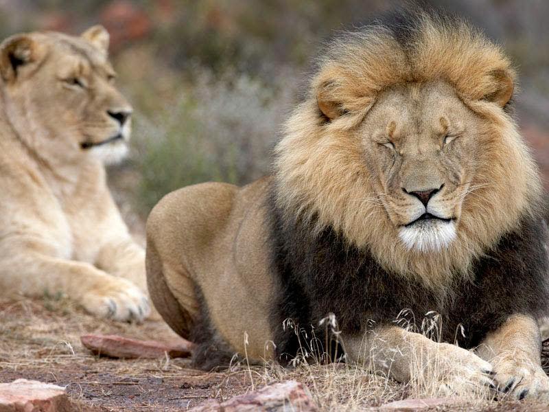 Aquila-Safari-Lion001