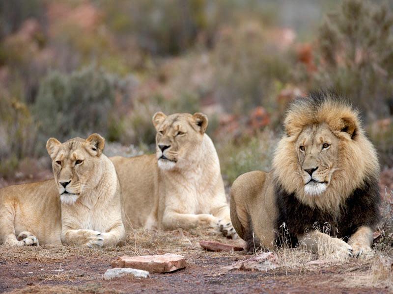 Aquila-Safari-Lion002