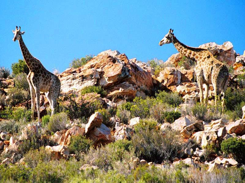 Aquila_Safari_Giraffe_3