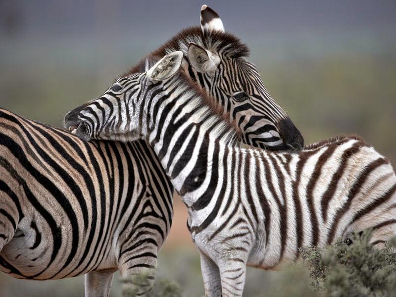 Aquila_Safari_Zebra_8