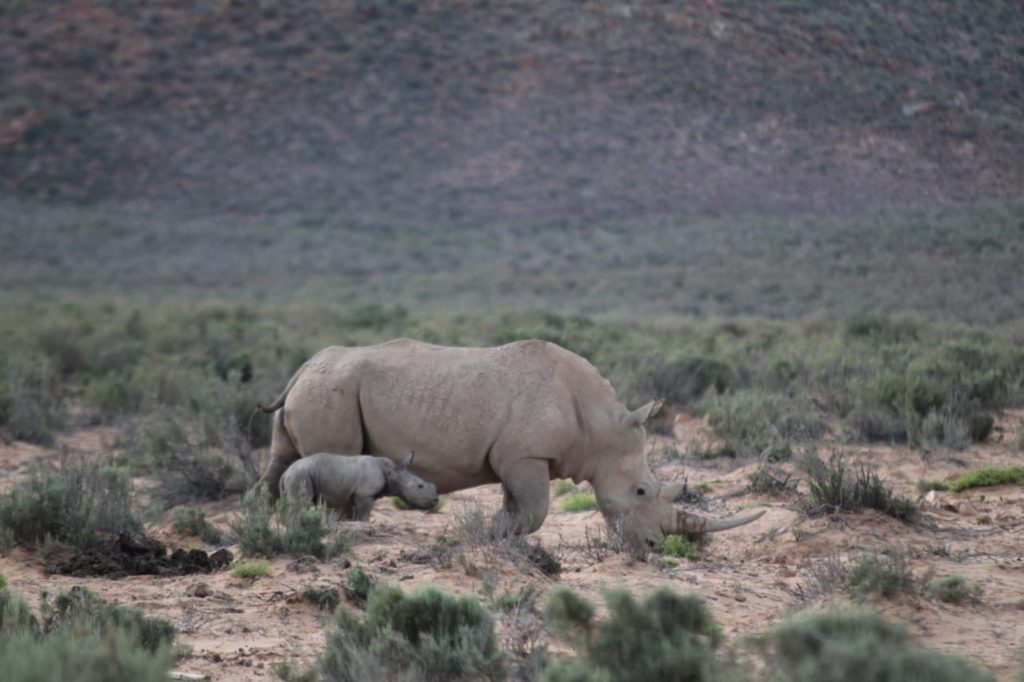 AQUILA Valentines Rhino Birth 2